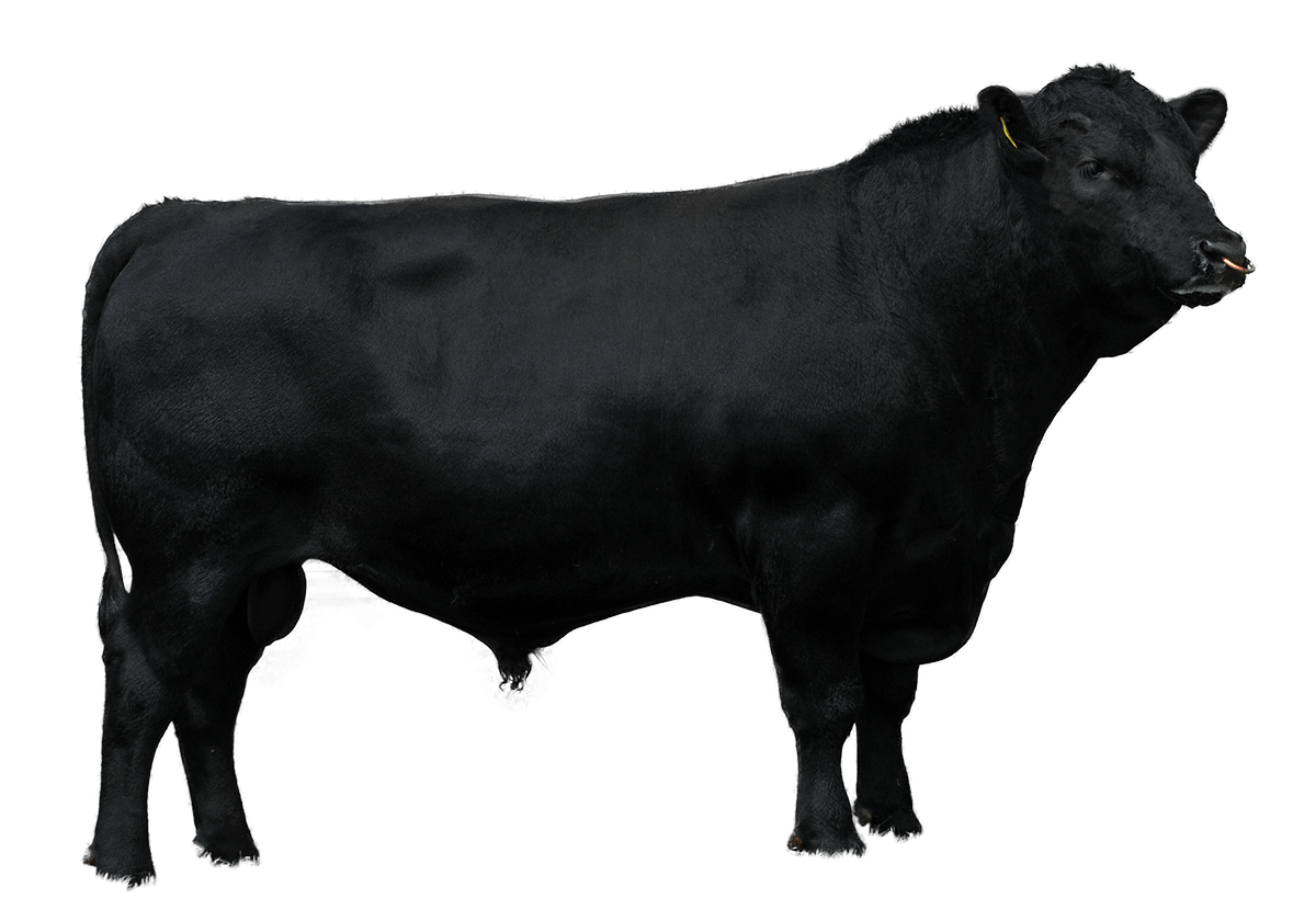 Beef Sires