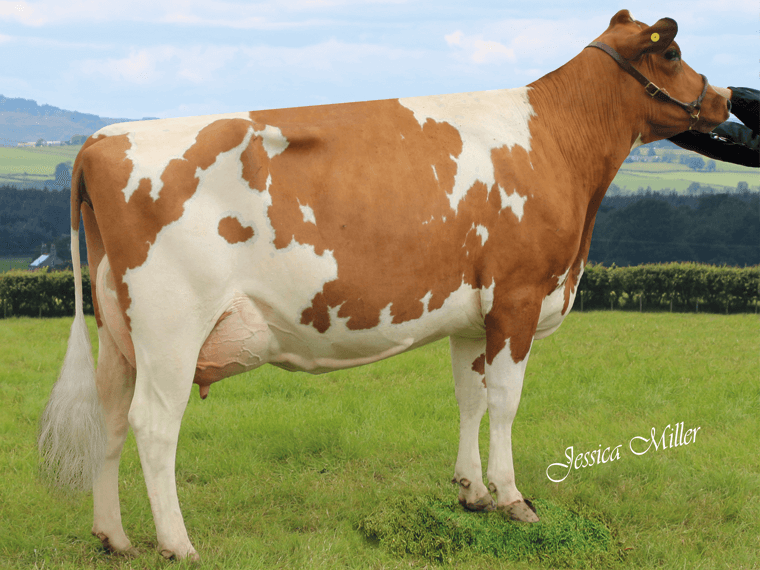 Stamford Esther 66 VG86, a daughter of Stamford BLACK DIAMOND. She was Champion Ayrshre at Cheshire Show and Interbreed Champion at Oswestry Show in 2019.