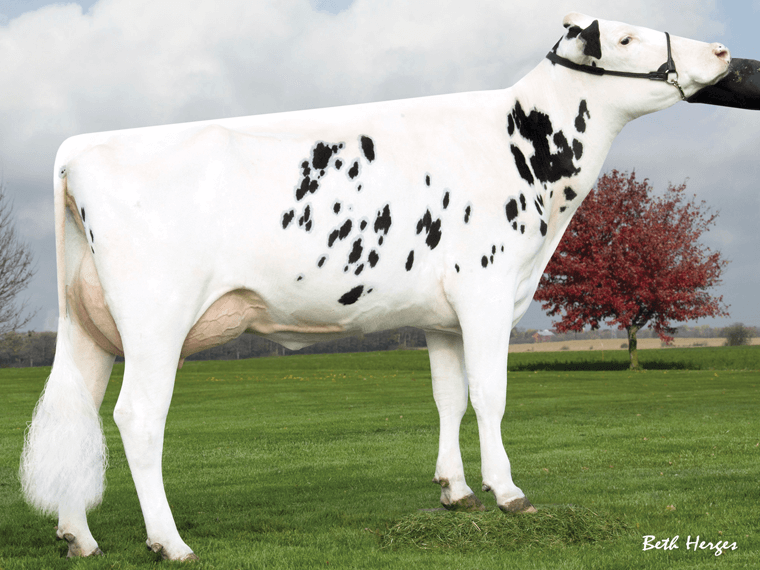 TERRANO'S third dam is Ms Pride Pint Tasket 788-ET VG86.